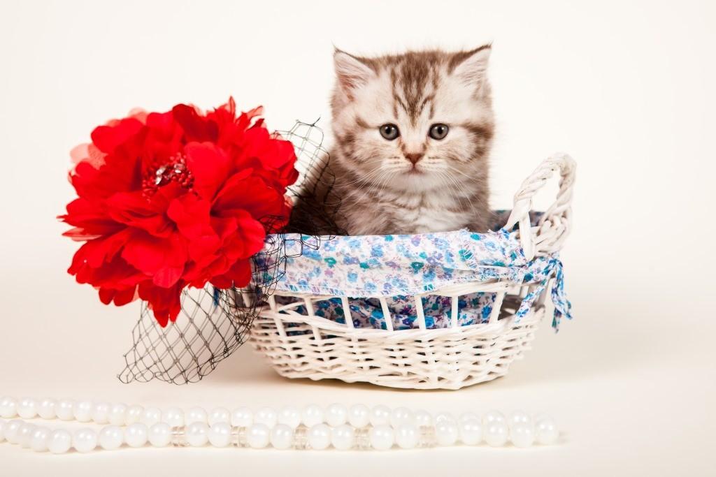 Фотография кошки Питомника британцев Elite British